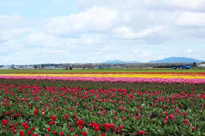 skaggit-valley-tulip-festival-1