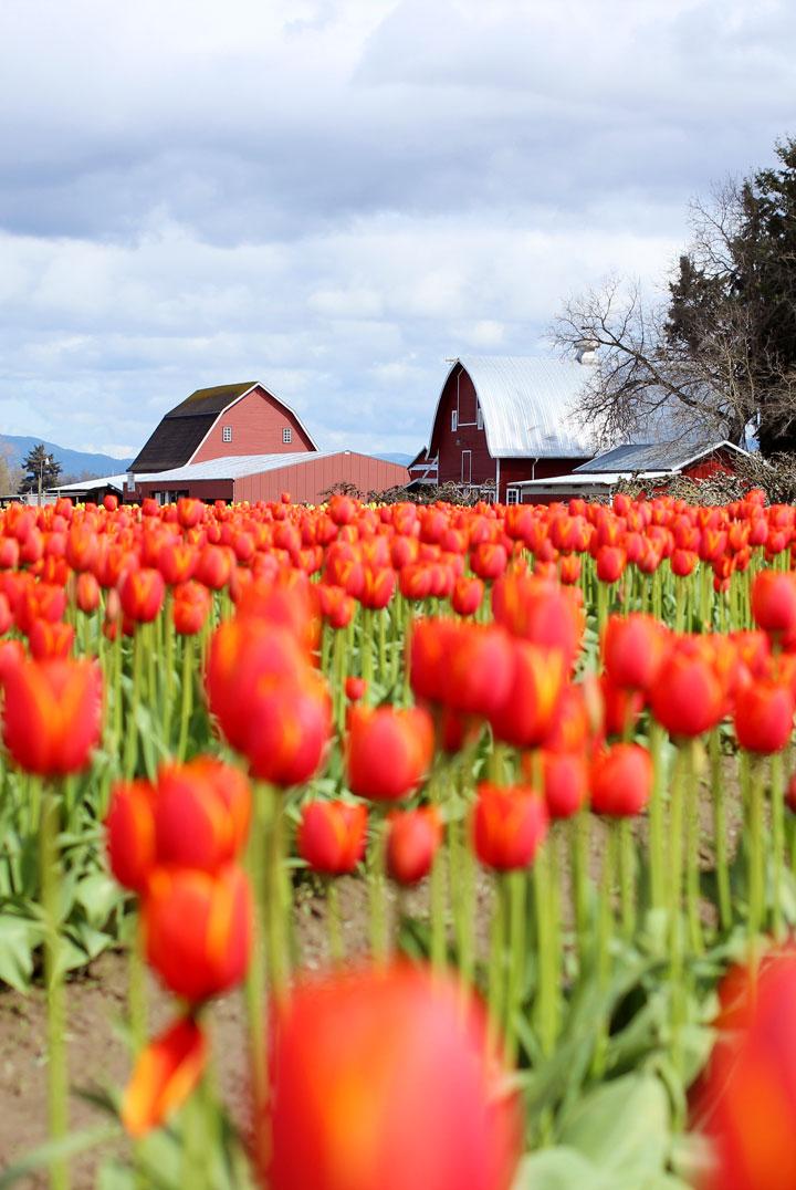 skaggit-valley-tulip-festival-10