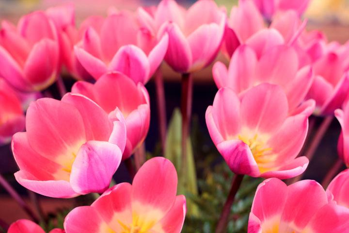 skaggit-valley-tulip-festival-7