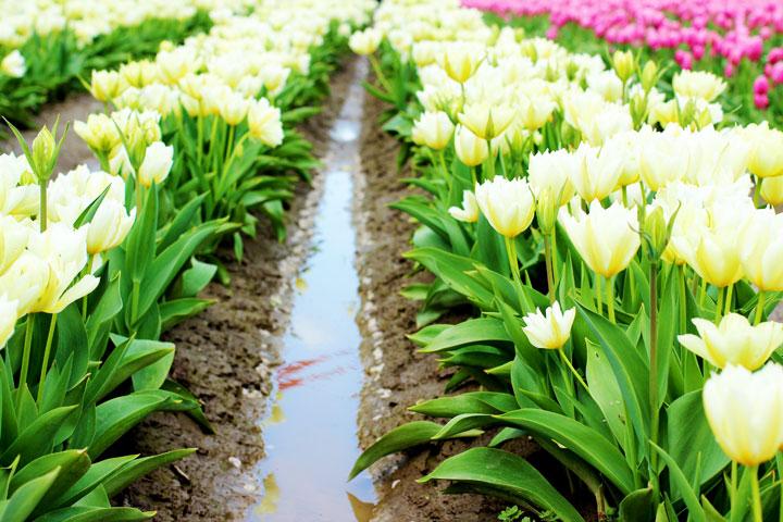 skaggit-valley-tulip-festival-9